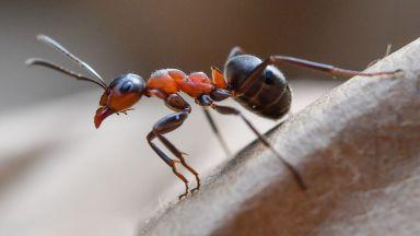 Откриха нов вид мравки-камикадзета