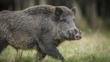 Оправданието за бракониерския лов на бившия шеф на ДАНС - куцо диво прасе