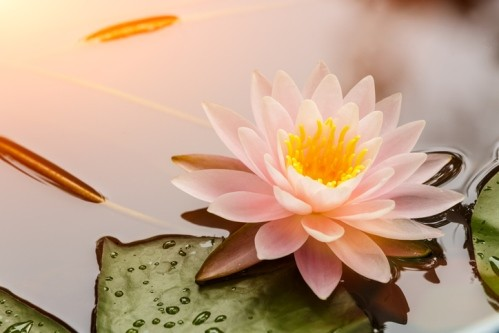 Лотос - символ на духовна чистота