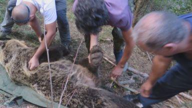Опасна мечка напада добитък в село в Родопите